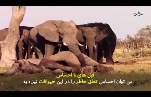 فیل های با احساس