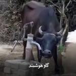 گاو هوشمند