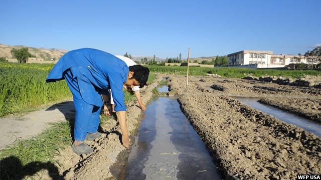 afghanistan-wheat1