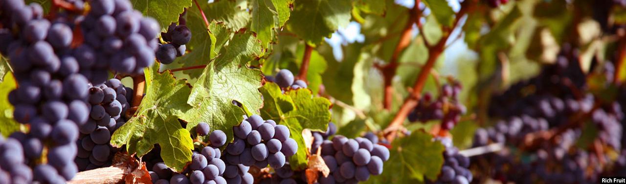 انگور افغانستان؛ از افزایش ۱۵ درصدی محصولات تا فروش در بازارهای هند و خاورمیانه
