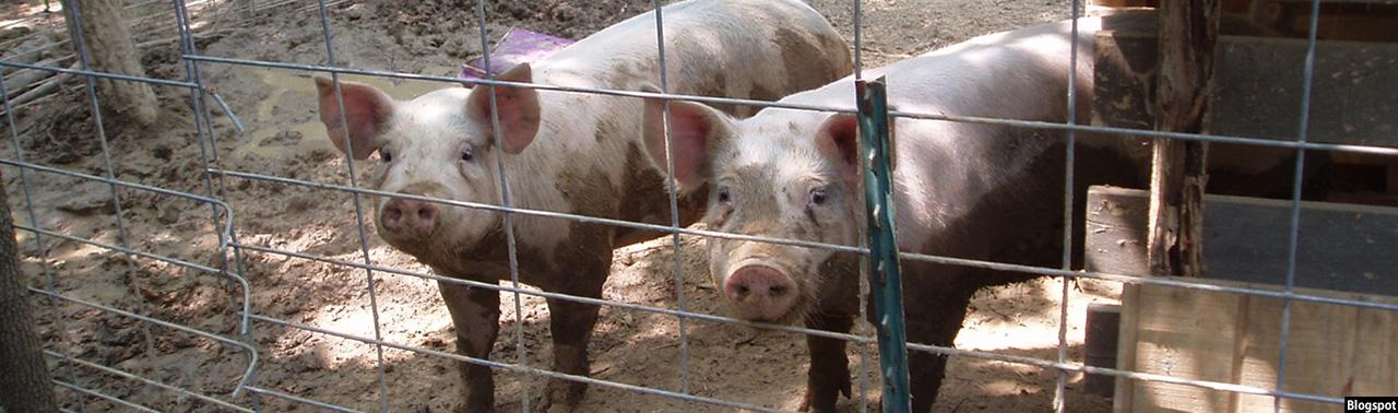 علاوه بر انتحاری؛ صادرات گوشت خوک به افغانستان و میلیونها دالر سودی که به جیب پاکستان میرود