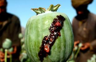 افزایش تولید مواد مخدر؛ پیوستن ۳ ولایت دیگر به جمع تولیدکنندگان کوکنار در افغانستان