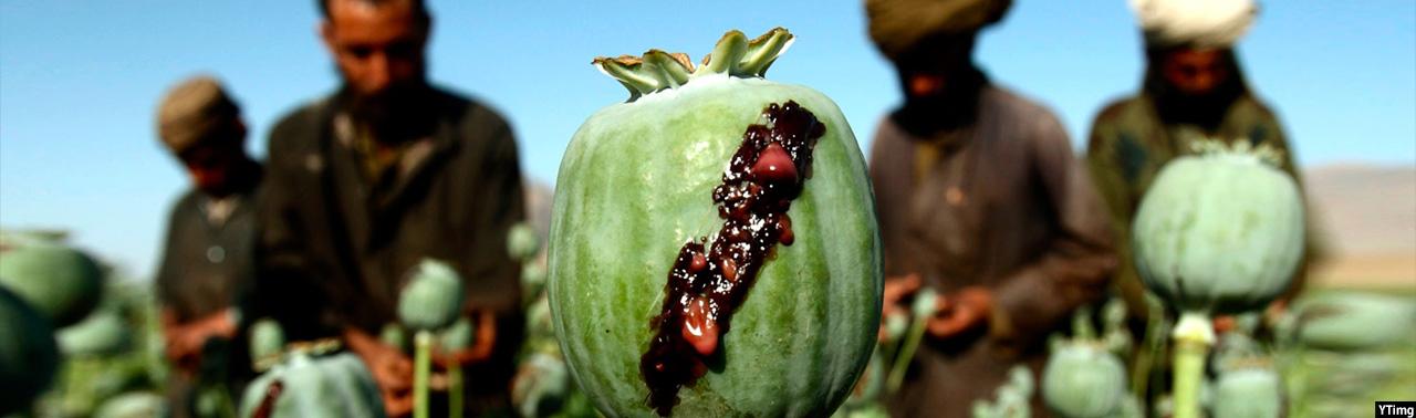تمرکز کشت بدیل بر ننگرهار؛ آیا ابتکارات جدید کشاورزی کوکنار افغانستان را محو خواهد کرد؟