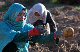 تولید تک بامیان؛ افزایش برداشت کچالو و سایه سنگین همسایگان