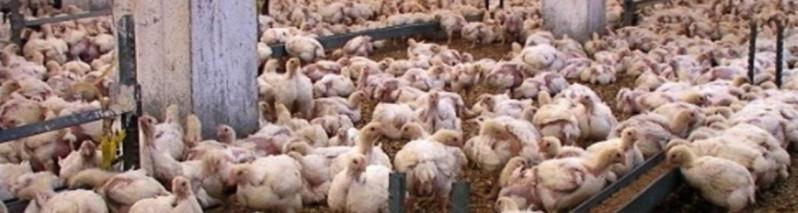 بیماری واگیردار و کشنده؛ بازگشت آنفلونزای مرغی و احتمال سرایت آن به نقاط مختلف افغانستان