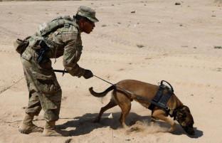 یافته های تازه ارتش آمریکا؛ با سگ های آموزش دیده ردیاب مواد انفجاری پس از بازگشت از افغانستان بدرفتاری شده است