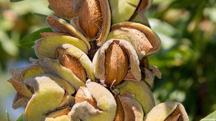 یکی از میوههای مشهور دیگر افغانستان بادام است که بیشترین تولید آن در ولایت دایکندی است