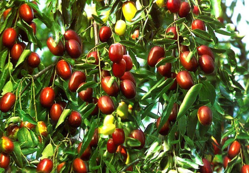 طلای سرخ فراه» یا همان عناب جزء میوههای طبی بوده که به شکل خودرو یا هم به دست زارعین کشت میشود
