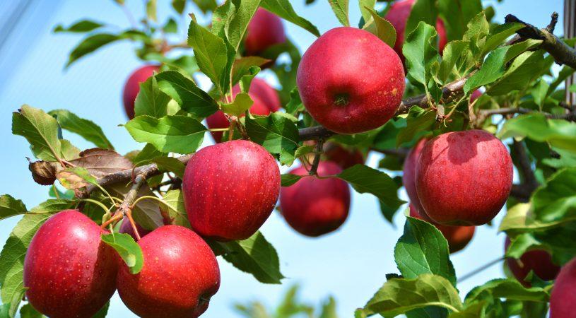 در ولایت میدان وردک، در صدها جریب زمین نهال سیب غرس شده و حدود 85 تا 90 هزار تن سیب به دست آمده است