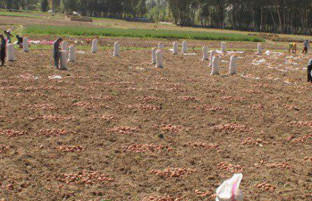 ۳۷۰ هزار تن؛ محصول امسال کچالو در بامیان