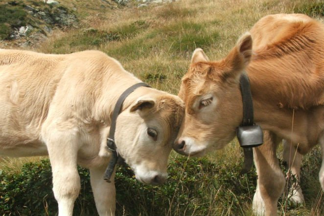 اگر تا حالا تصور میکردید که فقط آدمها دوست صمیمی دارند، بهتر است بیشتر فکر کنید، چون گاوها هم در این زمینه مثل ما آدمها هستند.