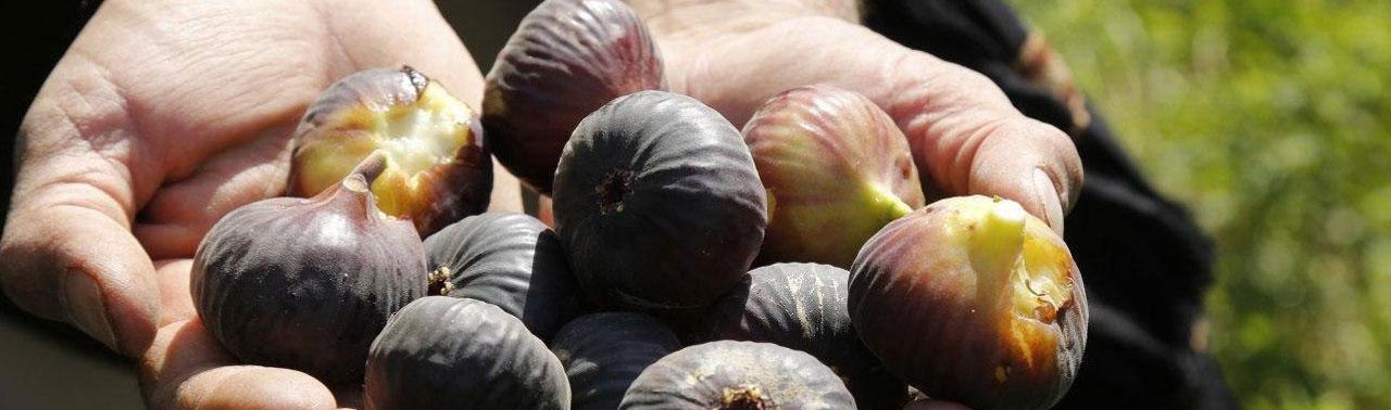 محصول در حال رشد در هرات؛ تولید انجیر در سال جاری به ۸ هزار تن می رسد