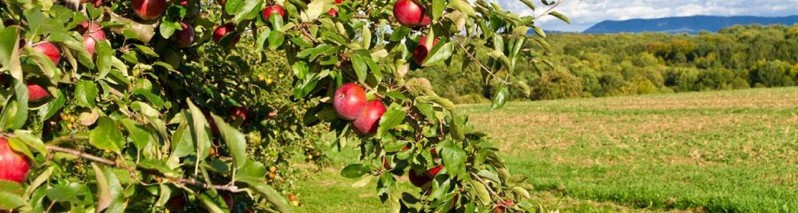 افزایش احتمالی ۳۳ درصدی حاصلات سیب/ برداشت سیب بامیان به ۳۰ هزار تن خواهد رسید