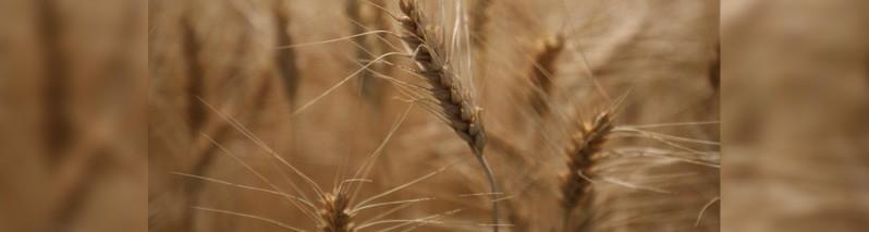 افزایش حاصلات گندم در افغانستان؛ برآوردها از ۵.۱ میلیون تن محصول خبر می دهد
