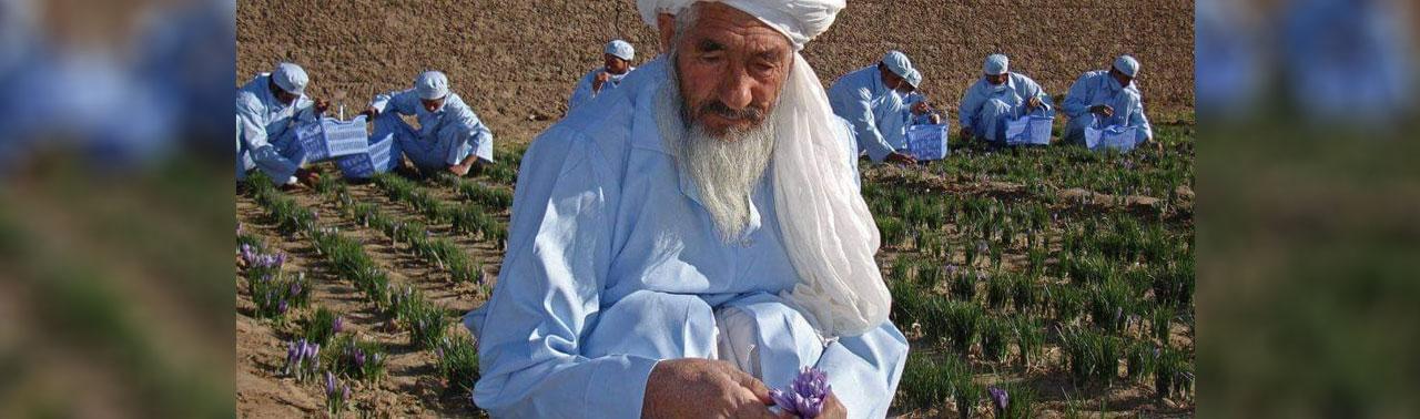 ۲۵ سال تلاش در ترویج زعفران؛ بابای زعفران افغانستان درگذشت