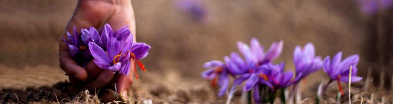 تحول در زراعت افغانستان؛ ۷ گام حکومت وحدت ملی برای توسعه زعفران