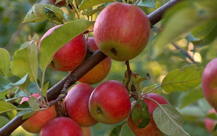 apple-tree.jpg ghor