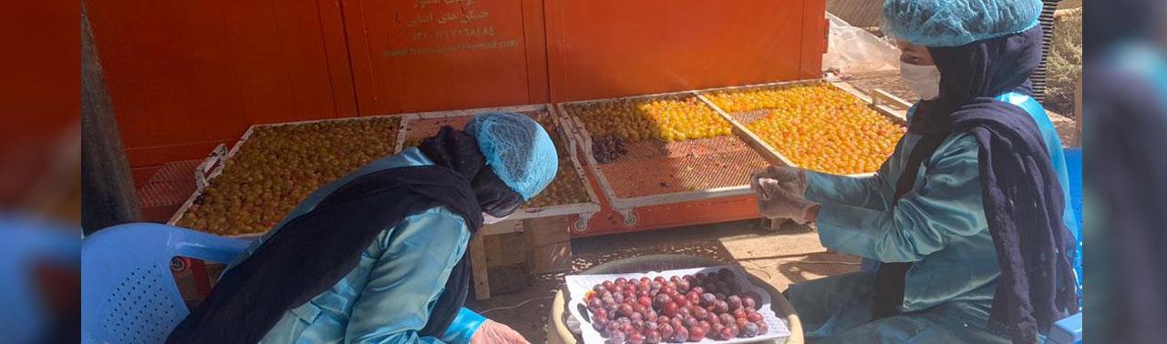 افزایش حاصلات آلوبخارا در غزنی و عناب در فراه